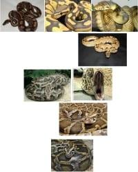 Pchełki Python: siódemka
