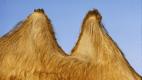 Sen 13: Wielbłąd