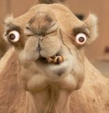 stupid-camel-01